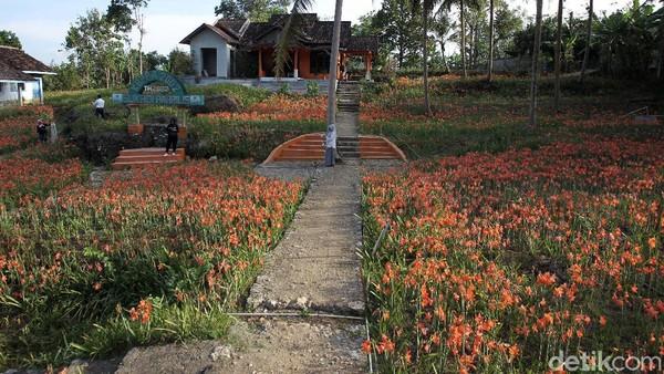 Hamparan bunga berwarna cerah yang mekar setahun sekali ini, menawarkan sensasi layaknya berkunjung ke kebun bunga Tulip Belanda.