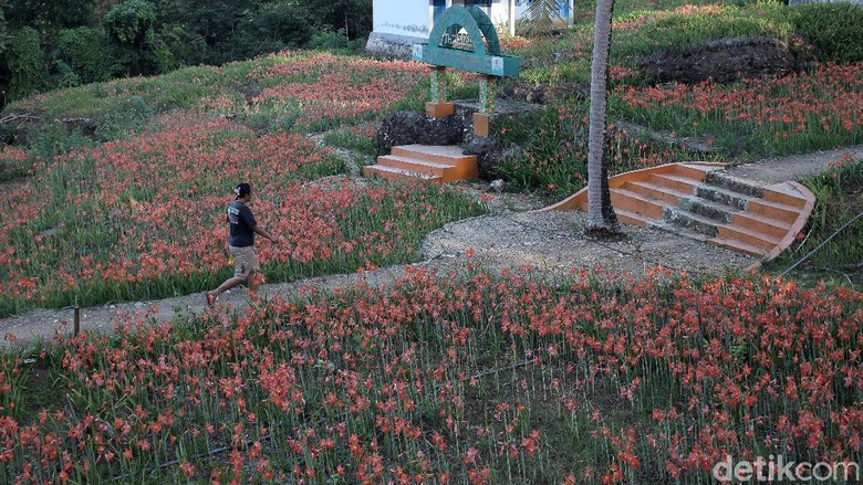 Bunga Amarilis yang berada di Gunungkidul, Yogyakarta, bermekaran. Namun sayang kebun bunga Amarilis tidak dapat dikunjungi karena Yogyakarta masih PPKM Level 4.