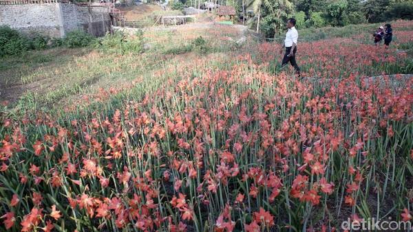 Pemilik kebun Amarilis, Sukadi menceritakan, sebenarnya saat ini sudah banyak para pengunjung yang hendak mampir ke taman bunganya. Namun demikian, ia terpaksa menolak karena penerapan PPKM Level 4 tidak memungkinkan wisatawan mengunjungi lokasi kebunnya.