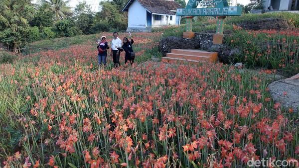 Ini sudah hari kesepuluh bunga Amarilis mekar, karena belum dibuka untuk wisatawan, Sukadi memilih untuk menjual bibit bunga Amarilis mulai dari harga Rp. 2.500,- dan Rp. 3.000,- untuk yang siap mekar.