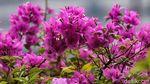Ini Bunga Bougenville yang Diklaim Anies Bermekaran