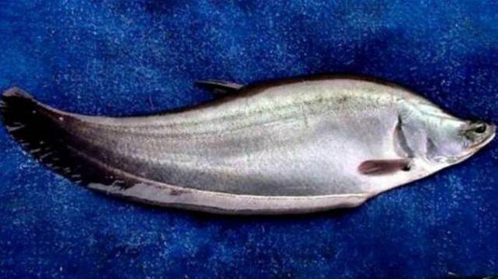 Oi Wong Palembang! Ikan Belida Dilarang Dikonsumsi, Ada Ancaman Denda-Bui