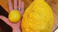 Wow! Lemon Jumbo Seberat 2,6 Kilogram Ditemukan di Australia
