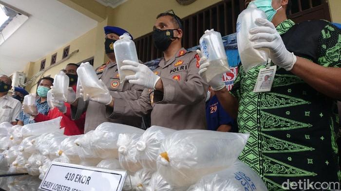 Rilis penyelundupan benur di Banten