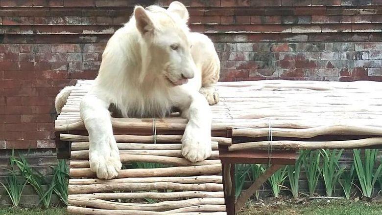 Singa peliharaan Bambang Soesatyo