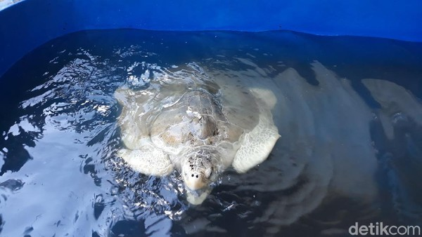 Menurutnya, penyu sangat berpengaruh untuk menjaga rantai makanan di laut. Dengan banyaknya penyu yang hidup berdampak pada melimpahnya hasil tangkapan nelayan. Pasalnya bibit ikan yang menjadi makanan ubur-ubur akan terselamatkan. (Pradito Rida Pertana/detikTravel)