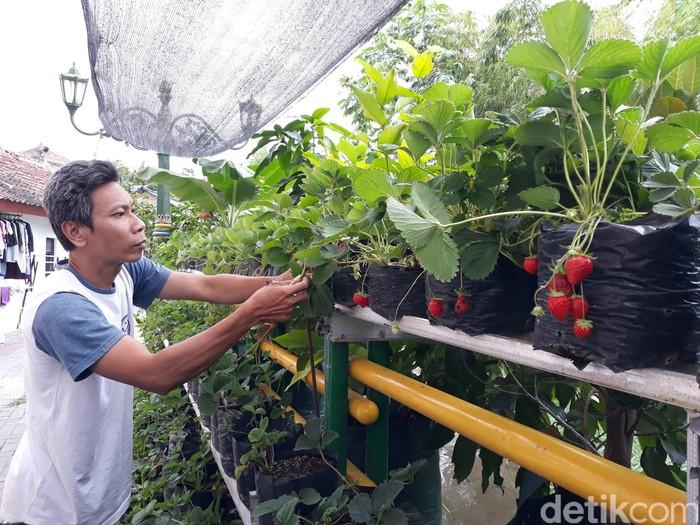 Warga mengolah kue dari buah strawberry yang dipetik dari kebun di bantaran Sungai Gajah Wong, Umbulharojo, Yogyakarta, Sabtu (4/9/2021). Lihat yuks..
