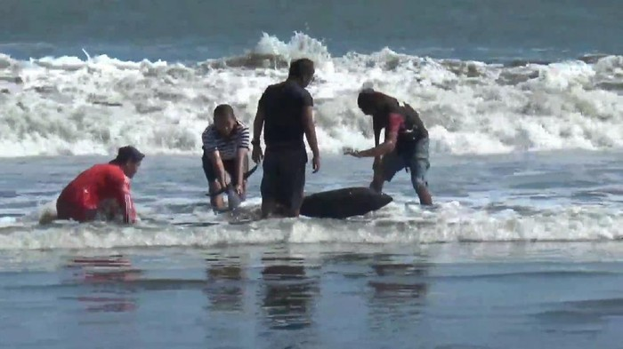 Banyak Lumba-lumba Terdampar di tulungagung