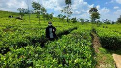 Wisatawan Nikmati Sejuknya Kebun Teh Wates di Batas Lembang dan Subang