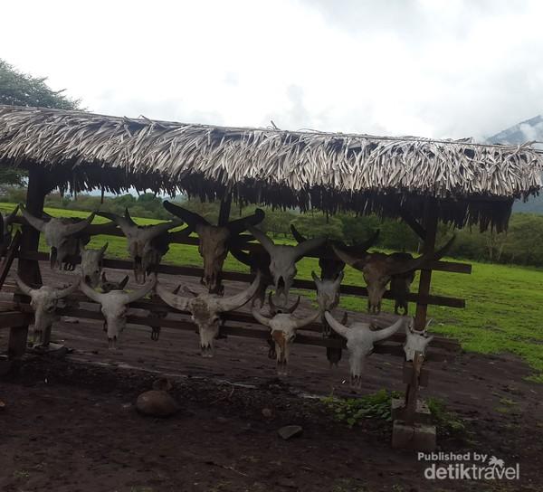 Tengkorak kerbau, rusa dan banteng yang dipajang di papan kayu merupakan ikon Padang Savana Bekol.