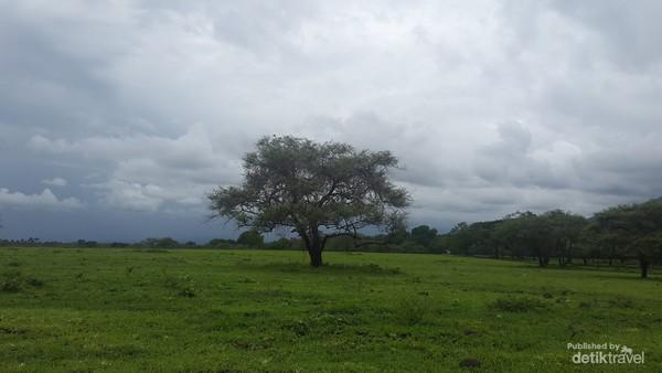 Saat musim penghujan, rumput dan pohon terlihat hijau dan rindang.