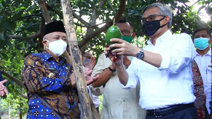 Ketua Dewan Komisioner Otoritas Jasa Keuangan (OJK) Wimboh Santoso (kanan) memetik buah alpukat di sela kegiatan Kunjungan Ekosistem Pembiayaan KUR Klaster Sektor Pertanian di Kebun Pembibitan Alpukat Pameling, Lawang, Malang, Jawa Timur, Sabtu (4/9/2021). Otoritas Jasa Keuangan berupaya meningkatkan akses pembiayaan perbankan kepada petani dengan memperbanyak pembentukan klaster pertanian dan menciptakan ekosistem guna mempermudah para petani dalam pengajuan, pencairan, penjaminan kredit serta memasarkan produk pertanian. ANTARA FOTO/Ari Bowo Sucipto/wsj.