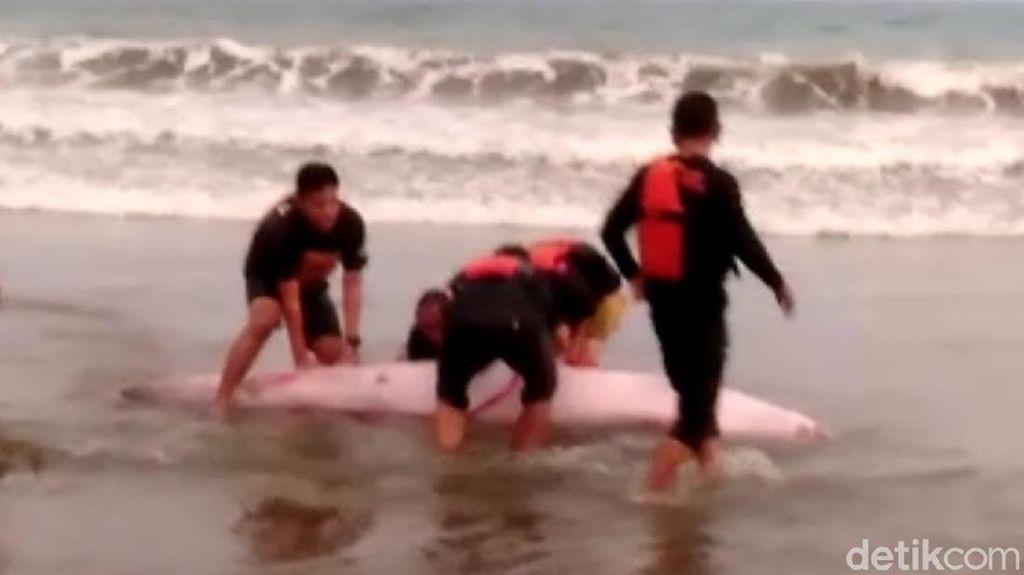 Tim SAR Selamatkan Paus Terdampar di Pantai Sine Tulungagung