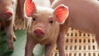 Ilmuwan Cangkok Ginjal Babi ke Manusia, Apa Itu Xenotransplantasi?