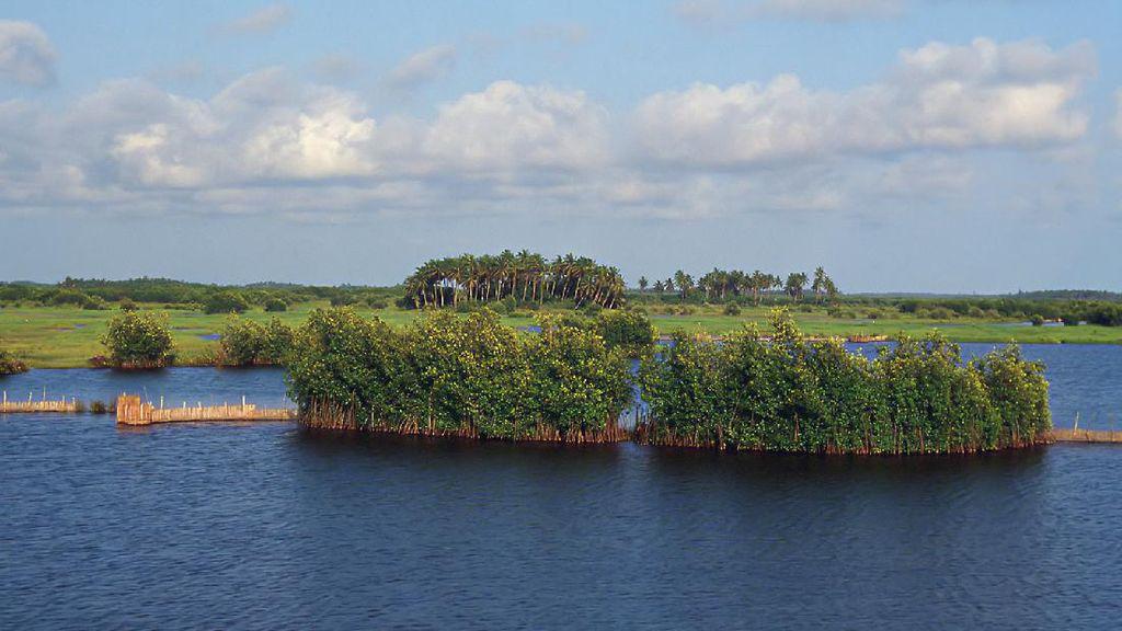 Hutan Mangrove Punya Fungsi Ekologis, Biologis dan Ekonomis, Ini Penjelasannya