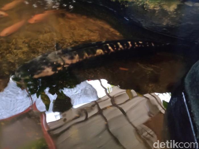 Ikan Toman yang ditemukan warga di lokasi penemuan terowongan kuno, Klaten, Senin (6/9/2021).