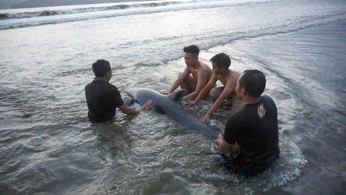 Sejumlah lumba-lumba terdampar di Pantai Sidem, Tulungagung. Upaya penyelamatan lumba-lumba itu pun dilakukan oleh para relawan pada akhir pekan lalu.