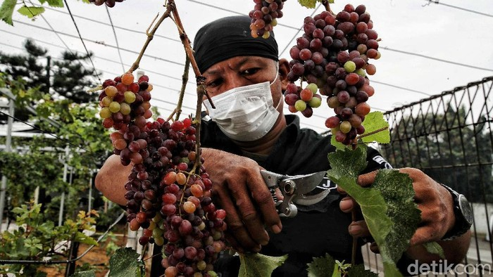 Anggota Komunitas Anggur Jakarta, Tarto merawat kebun buah anggur di kawasan Pom Bensin Pertamina Tenan Jalan Raya Cilincing, Jakarta Utara,  Selasa (7/9).