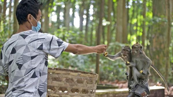 Mereka diduga tidak cuma kelaparan, tetapi juga kesepian. Sebab, biasanya ada saja makanan yang dibawa oleh pengunjung, Wisatawan juga mengajak mereka bermain-main. (AP/Firdia Lisnawati)