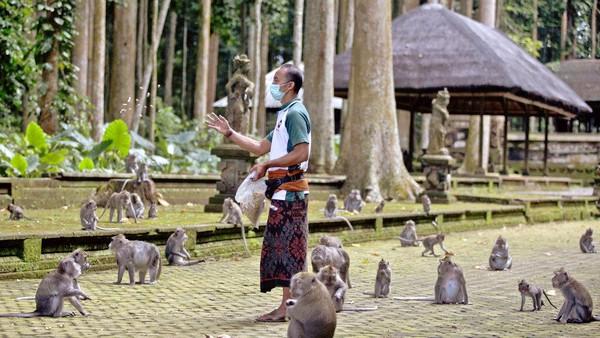 Sekitar 600 kera hidup di cagar alam hutan, berayun dari pohon pala yang tinggi dan melompat-lompat di sekitar Pura Bukit Sari yang terkenal dan dianggap keramat.(AP/Firdia Lisnawati)