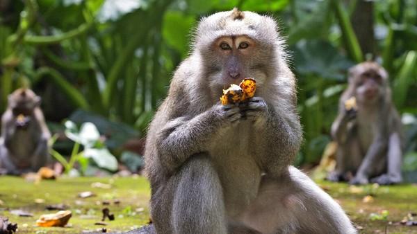 Monyet-monyetdi taman Monyet Sangeh, Bali kelaparan.Monyet-monyet itu juga sedang kesepian karena tidak ada wisatawan.