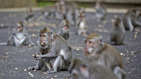 Situasi berubah total sejak pandemi virus Corona dan perbatasan Bali ditutup. Tidak adanya turis membuatHutan Monyet Sangeh sama sekali tidak mendapatkan pemasukan. Pengelola pun hemat-hemat membeli makanan untuk monyet. (AP/Firdia Lisnawati)