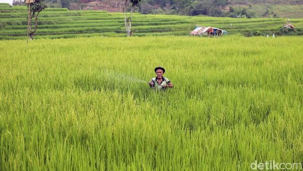 Anda juga bisa melihat aktivitas para petani di sana.