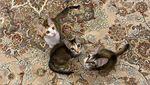 Menteri Pertahanan Prabowo dan Kucing-kucingnya