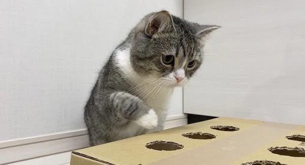 Dalam penghargaan Guinness World Record yang dia terima, tertulis Penayangan terbanyak untuk kucing di YouTube dengan total 619.586.290 penayangan di chanelnya Motimarus diary pada 12 Agustus.