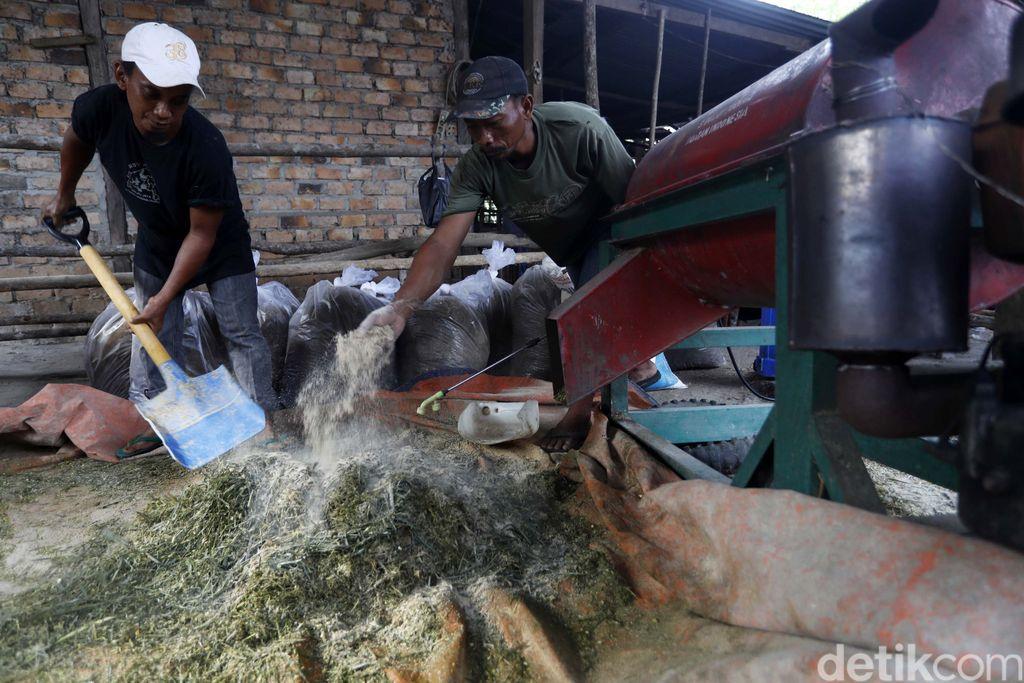 Buah kelapa sawit kerap dimanfaatkan untuk diolah jadi bahan baku minyak goreng-biodiesel. Selain buahnya, limbah kelapa sawit juga bisa diolah jadi pakan sapi.