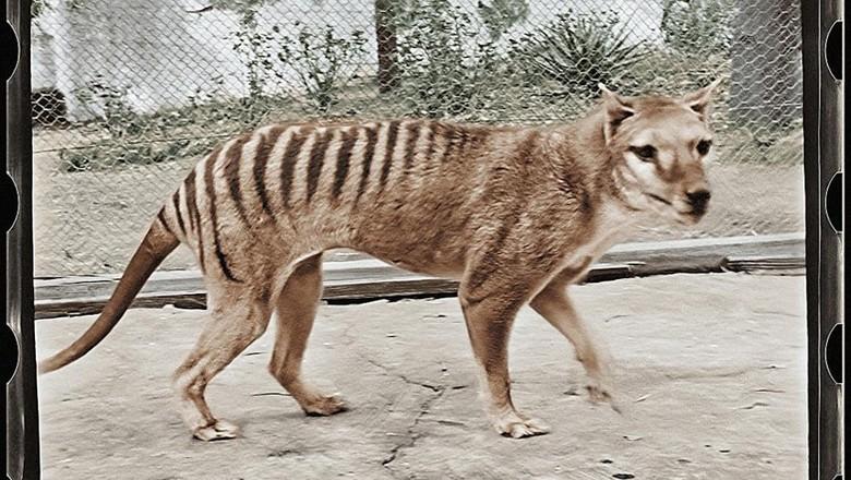 Harimau Tasmania dalam klip