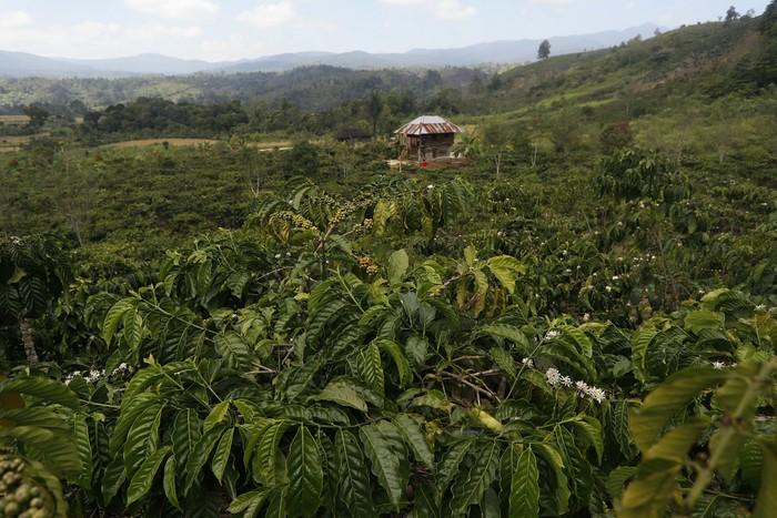 Lahan Perkebunan Kopi di Desa Pelakat, Semende Darat Laut