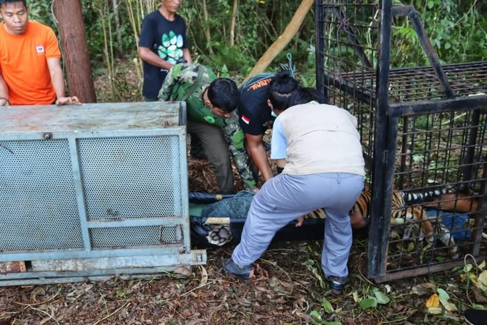 Seekor harimau Sumatera betina berusia remaja yang diduga menerkam warga di Siak, Riau, hingga tewas telah dievakuasi. (dok BBKSDA Riau)