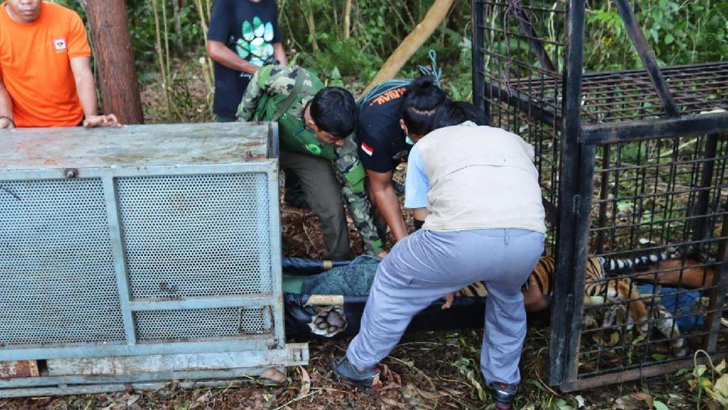 Harimau Diduga Terkam Remaja di Riau Masuk Perangkap BKSDA