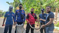 Petugas Damkar Tangkap Kobra Peneror Atlet Probolinggo