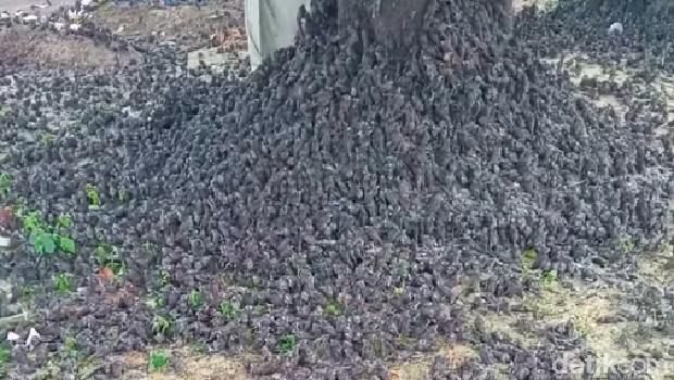 Video burung-burung dalam keadaan basah berjatuhan di tanah viral di medsos. Video yang dibagikan sejumlah itu disebut terjadi di Bali. (Facebook Dek Eko)
