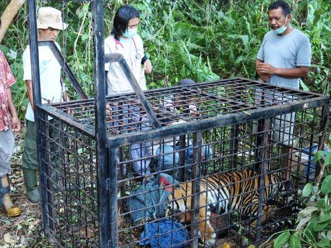 Harimau Sumatera yang terkam warga Siak masuk perangkap BKSDA Riau