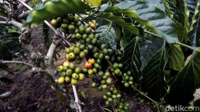 Indonesia dikenal sebagai salah satu negara penghasil kopi terbesar di dunia. Tak cuma Gayo dan Toraja, kopi Semendo pun siap jadi primadona baru kopi nusantara