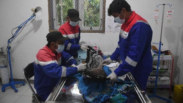 Di pusat konservasi itu, elang-elang yang direhabilitasi di sana akan diperiksa kesehatannya secara rutin oleh para dokter hewan sebelum dilepasliarkan ke habitatnya.