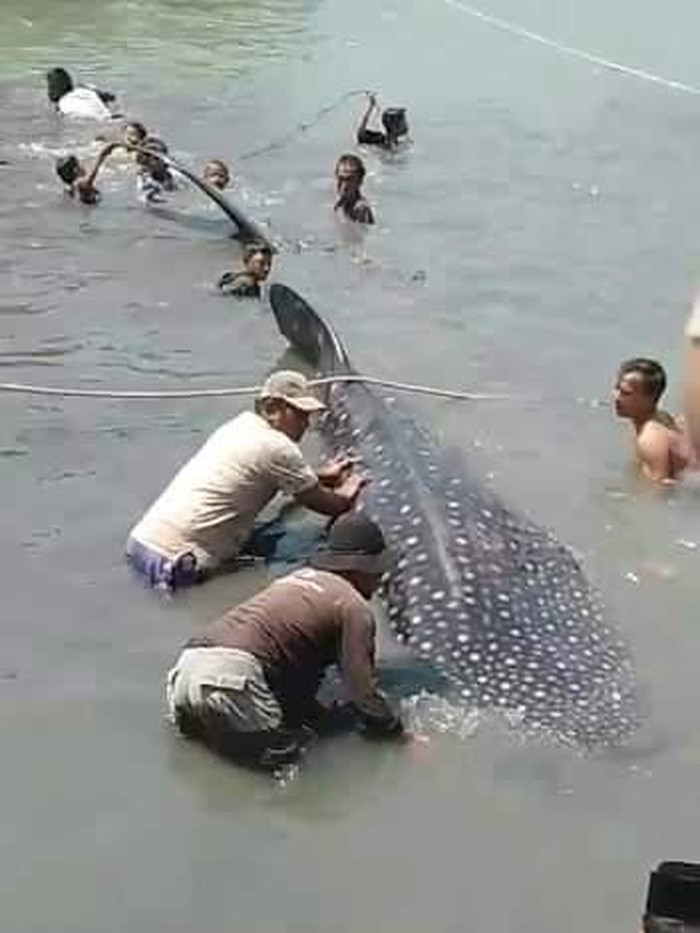 Seekor Hiu Tutul Kembali Terlihat, Diselamatkan Nelayan ke Tengah Laut
