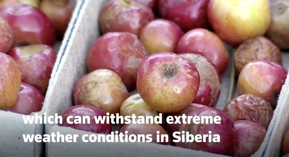 Unik Banget! Apel Sebesar Mutiara Ini Tumbuh di Cuaca Dingin Ekstrem