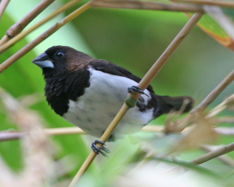 Salah satu jenis burung pipit (Lip Kee Yap/Wikimedia Commons)