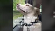 Viral di TikTok, Anjing Teler Makan Jamur Ajaib