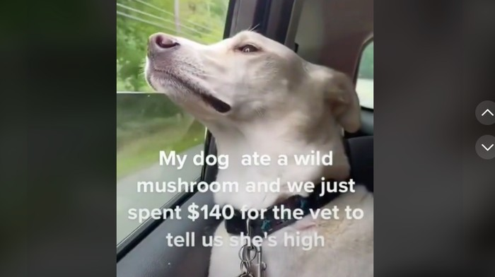 Viral di Tiktok Anjing Teler Makan Magic Mushroom, kejadian di New Hampshire, Amerika.