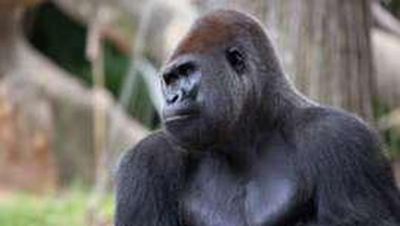 13 Gorila terinfeksi virus Corona