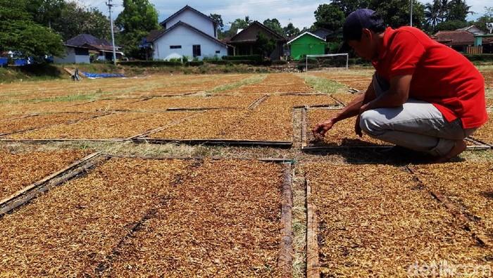 Cuaca mendung dan hujan selama dua hari ini, membuat petani tembakau di lereng Merapi-Merbabu harus turun gunung. Hal itu dilakukan demi untuk mendapatkan sinar matahari.