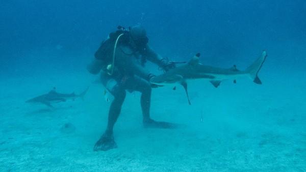 Wisatawan menyaksikan Hiu Sirip Hitam (Carcharhinus limbatus) saat melakukan penyelaman bersama pemandu dari pusat selam Shark Diving Indonesia di perairan Pulau Mitita, Morotai, Maluku Utara.