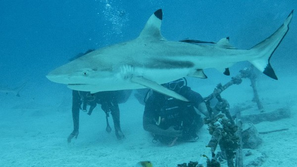 """Shark Diving"" atau menyelam dengan hiu adalah ikon utama yang menjadi daya tarik utama menyelam di perairan ini."
