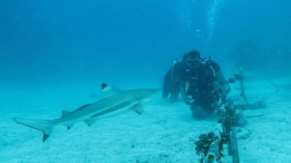 Menyelam bersama hiu, sejatinya bukan hanya menikmati keindahan dan kegagahan mereka sebagai penguasa lautan. Di situ, penyelam belajar mengenal lebih jauh tingkah laku hiu sirip hitam di habitatnya.