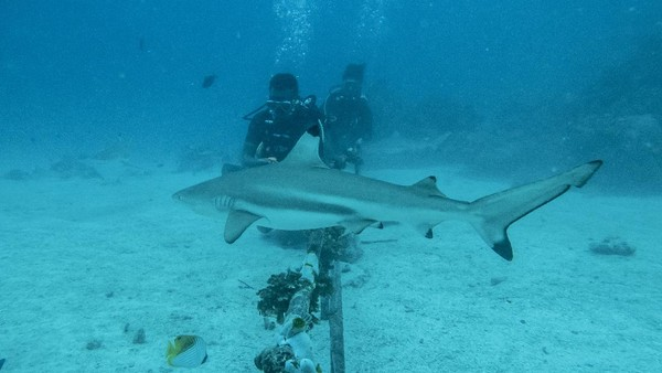 "Untuk menunjang penelitian hiu di habitatnya ini, Darmawan Ahmad Mukharror alias Gharonk lalu memutuskan membuat jasa wisata selam ""Shark Diving Indonesia"". Tujuannya, agar ada dana untuk meneruskan penelitian ini secara kontinyu."